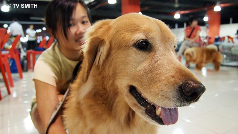 Abby, a Golden Retriever with Maybel