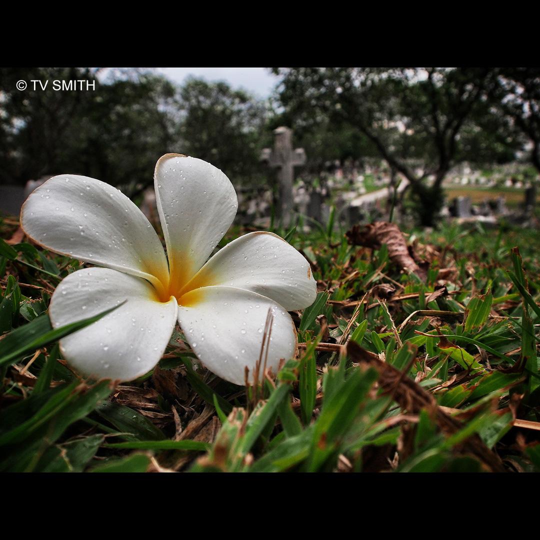 Frangipani - Fallen Not Forgotten